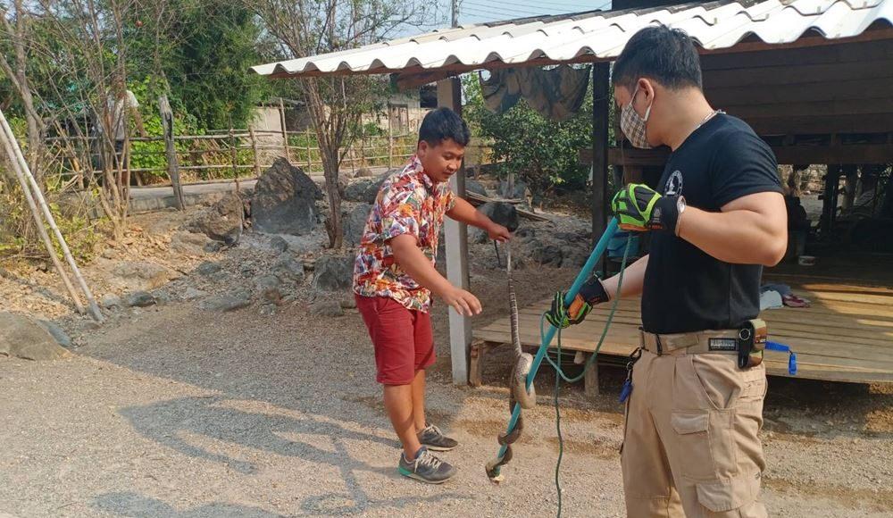 งูจงอางยาว 3 เมตร หนีแล้งบุกหากินในบ้าน